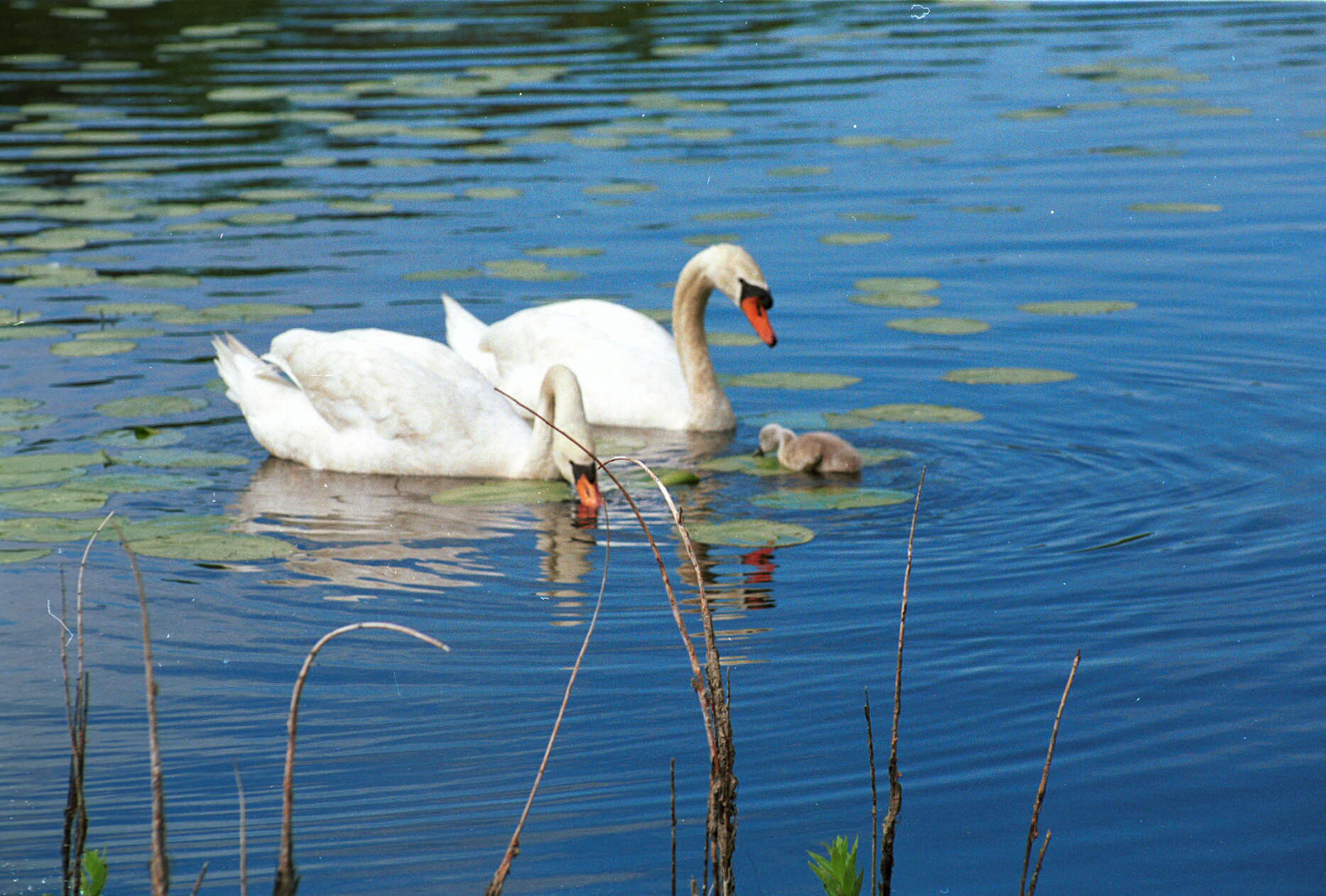 Swans-07